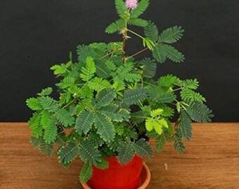 BIG Sensitive Plant Starter Grow Kit~RARE Mimosa Pudica Plant~Touch-Me-Not~Sleepy Plant~Shame Plant~Action Plant~Party Favors