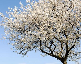 White Blossom Tree, Fine Art Photography Print, White Flowers, Blue Sky, Blue Skies, Nature Photography, Spring Decor,  Home Decor, Wall Art