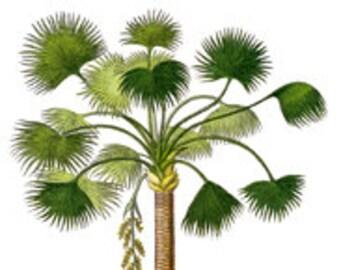 Moriche Palm Tree Botanical Island Tropical Tommy Bahama Style - Digital Image - Vintage Art Illustration