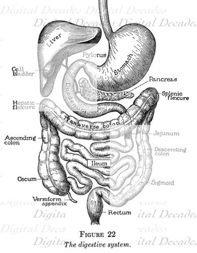 Youve Got Guts Medical Digestion Anatomy Human Vintage Etsy