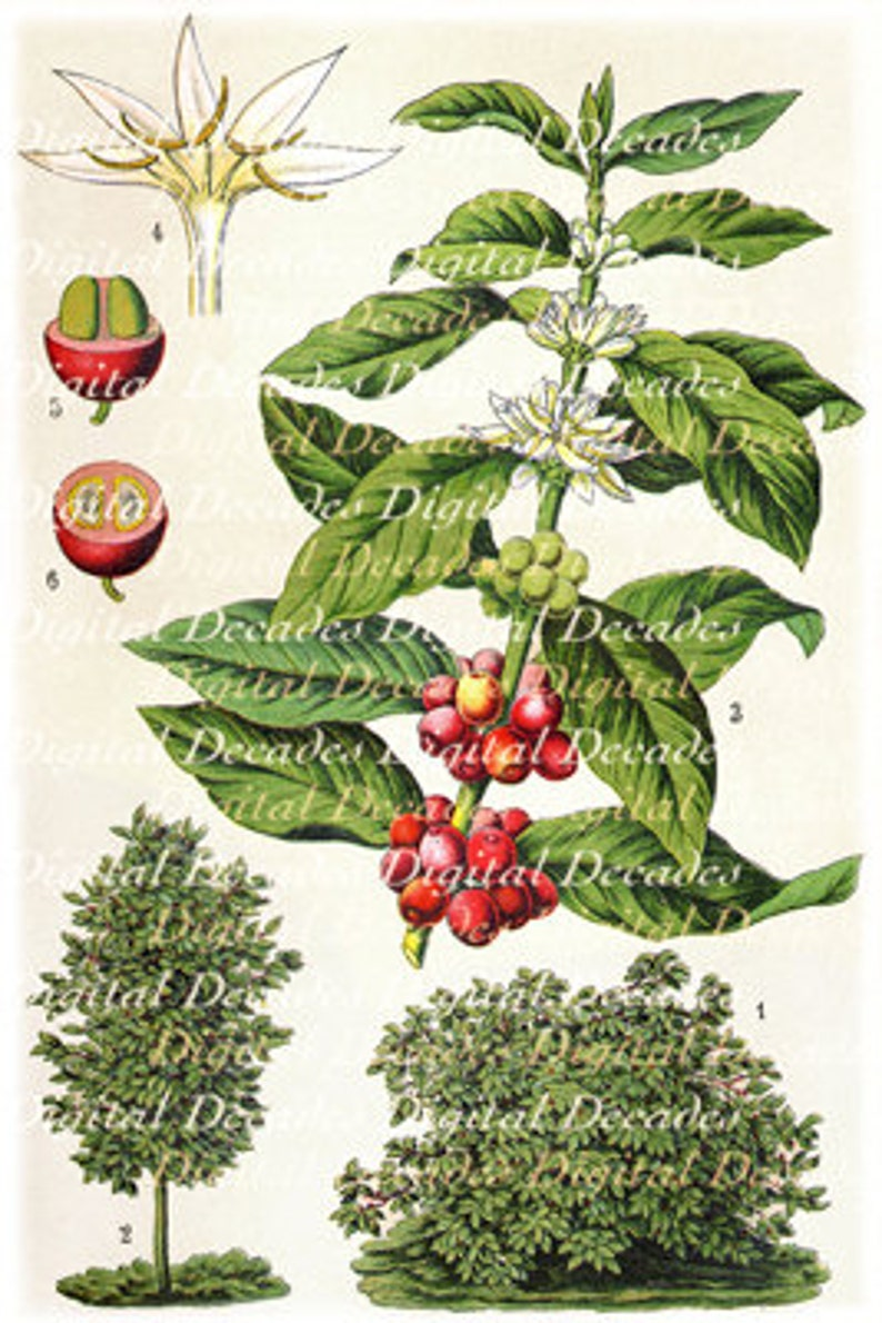 It's just a graphic of Crazy Coffee Plant Drawing
