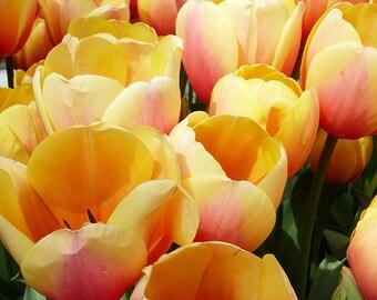 Yellow Tulips  Photo Notecard