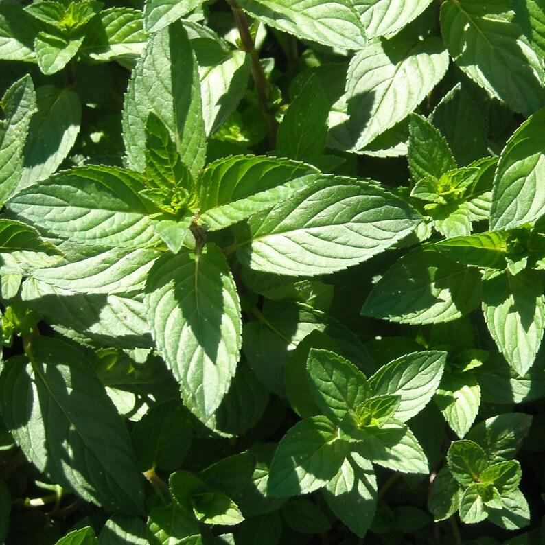 Chocolate Mint Tea RAW Sun Dried Herbal Tea Culinary Herbs and image 0