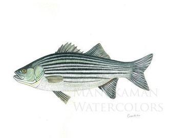 Striped Bass watercolor (print) by Damon Crook (11 x 14)