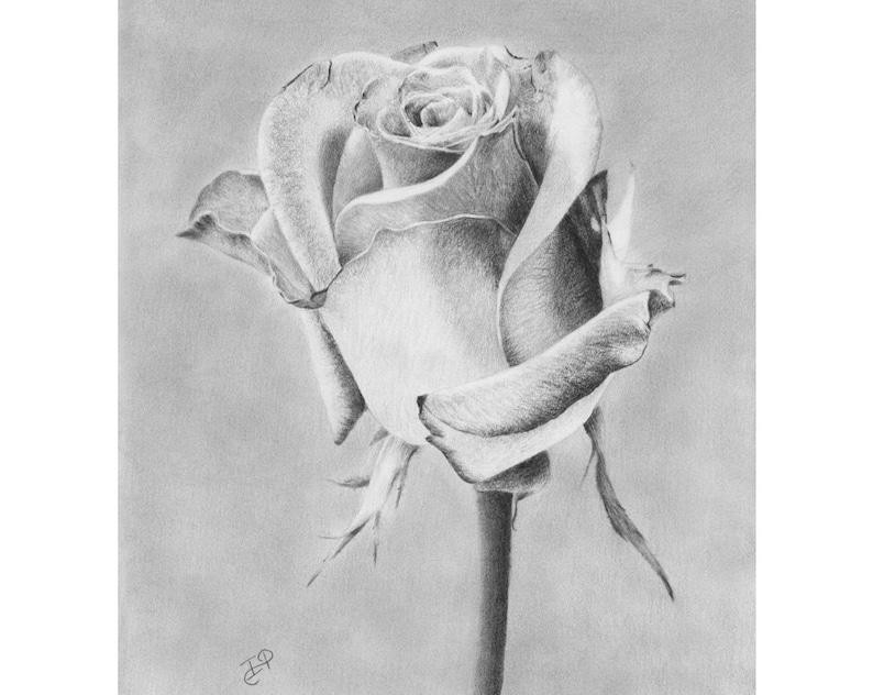 Rose Flower Still Life Original Pencil Drawing Graphite Realisic Realism