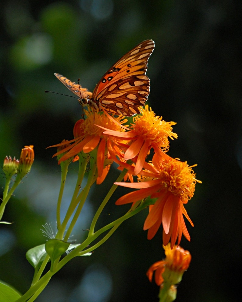 Orange Butterfly Photo Butterfly decor cottage decor Orange image 0