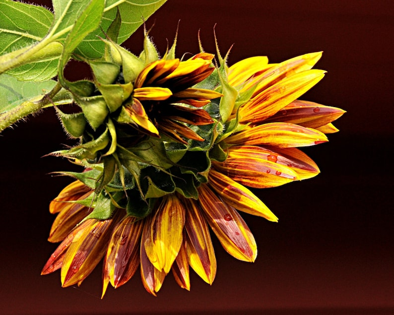Sunflower Photo  Late Summer's colors home decor wall image 0