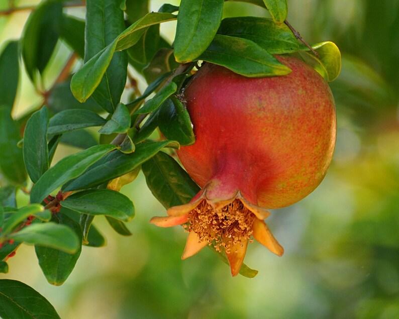 Pomegranite Photo Fruit Photo Summer's Harvest Ripe image 0