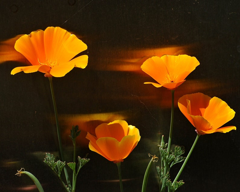 Poppy Photograph Orange Flare Wall Decor Floral Art Striking image 0