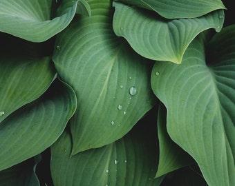 Green Hosta Photo, Hosta Leaf Photo, Hosta Print, Floral Wall Decor, Green Wall Art, Abstract Nature Print, Leaf Art Print, Botanic Print