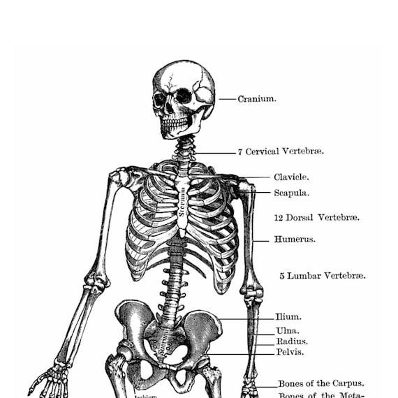 Anatomía del esqueleto diagrama estilo Vintage Art Print | Etsy