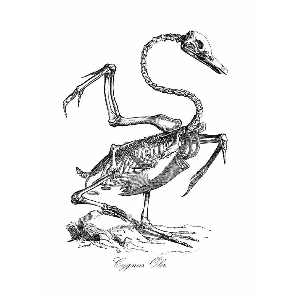 Anatomía Animal cisne esqueleto estilo Vintage lámina Cygnus   Etsy