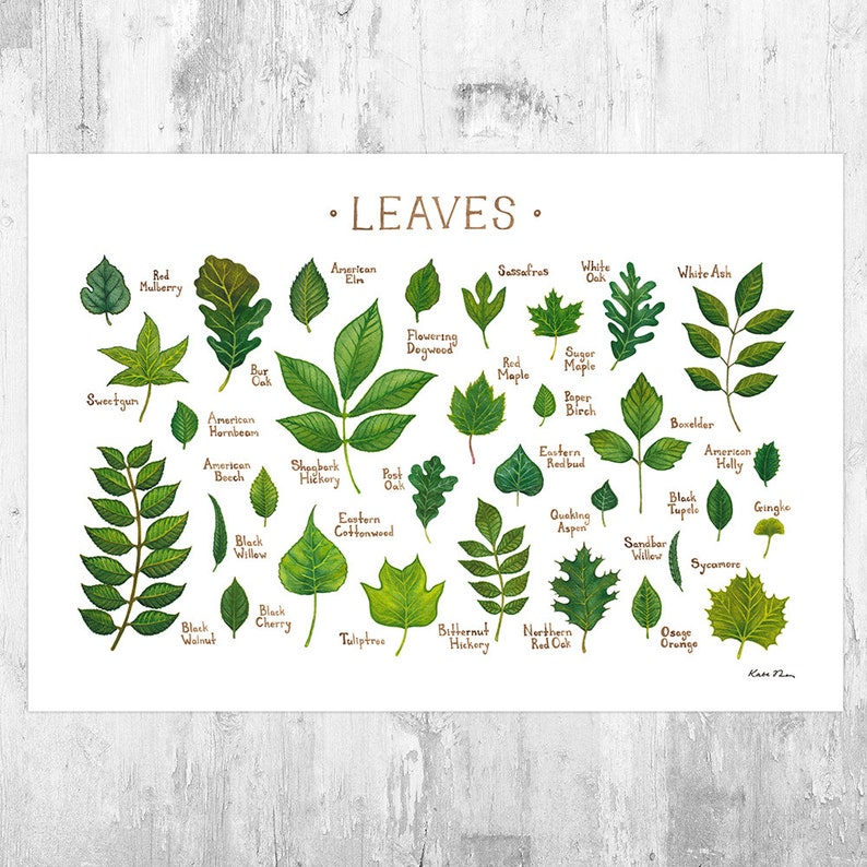 Leaves of North American Trees Field Guide Art Print  / image 0