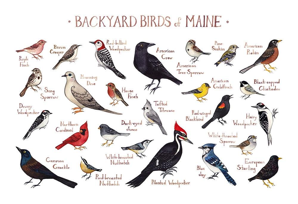 Maine Backyard Birds Field Guide Art Print / Watercolor   Etsy