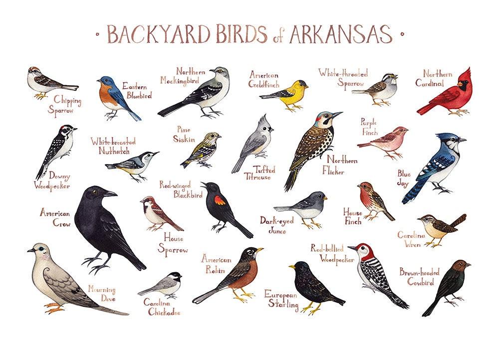 Arkansas Backyard Birds Field Guide Art Print / Watercolor ...