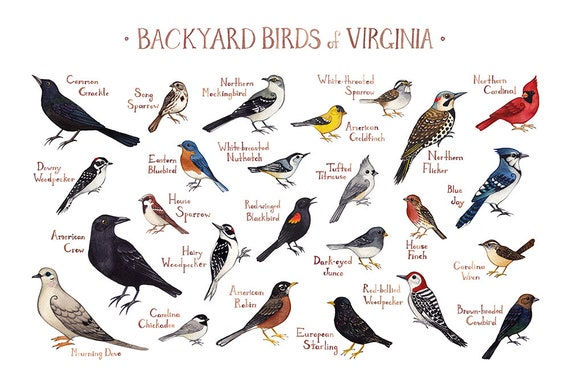 Virginia Backyard Birds Field Guide Art Print / Watercolor ...
