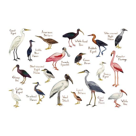 Lámina guía de campo aves zancudas / acuarela pintura / arte | Etsy