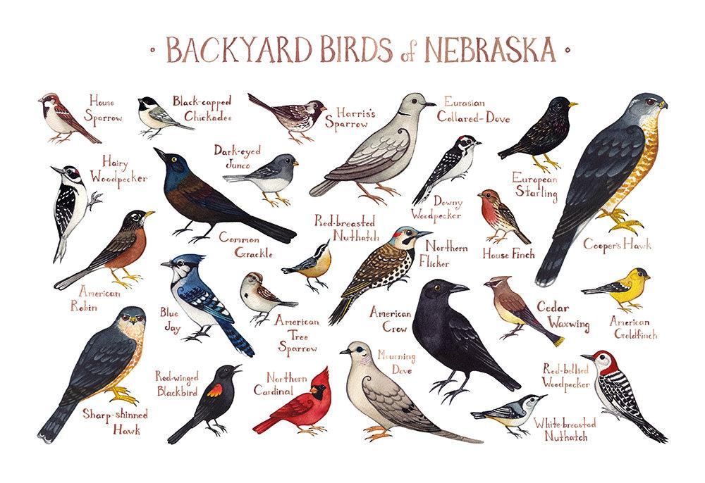 Common Backyard Birds nebraska backyard birds field guide art print / watercolor | etsy