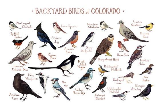 Colorado Backyard Birds Field Guide Art Print / Watercolor ...