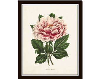 Peony Botanical Print No. 22, Peony Prints, Botanical Art, Botanical Prints, Antique Botanical, Giclee, Wall Art, Art Prints, Farmhouse Art
