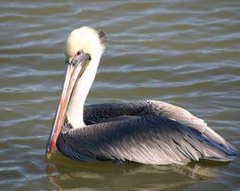 Louisiana Brown Pelican State Bird Fine Photography, Free Shipping, Premium matted photograph, Brown Pelican Wall Art, Bayou