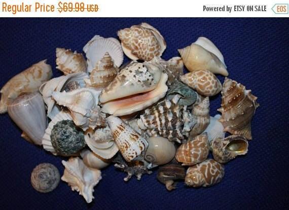 1 Bulk Seashells 8 To 10 Pounds Free Shipping Seashell Etsy