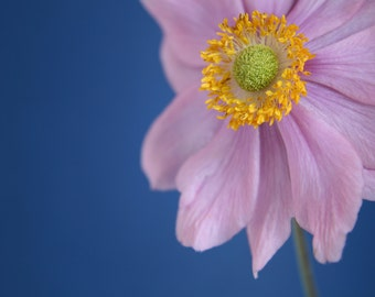 Anemone Picture, Flower Photography, Flower Photo, Fine Art Print, Floral Photography, Pink Flower