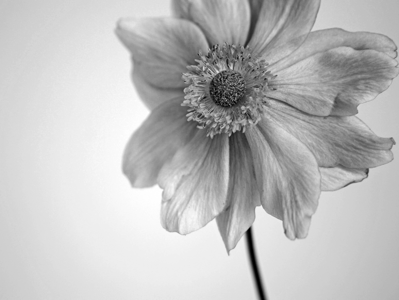 Japanese Anemone Black And White Fine Art Photographic Print