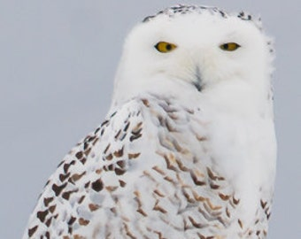 Snowy Owl He's Looking at Me