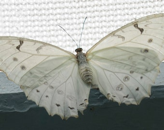 Lacy White Butterfly Photo