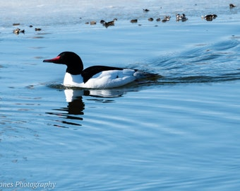 Regal Duck in Ice Lake