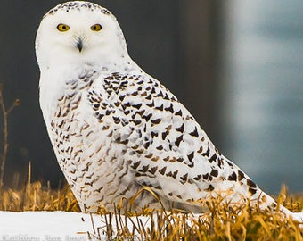 Notecards-Snowy Owl