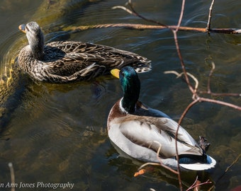 Mallards in Love