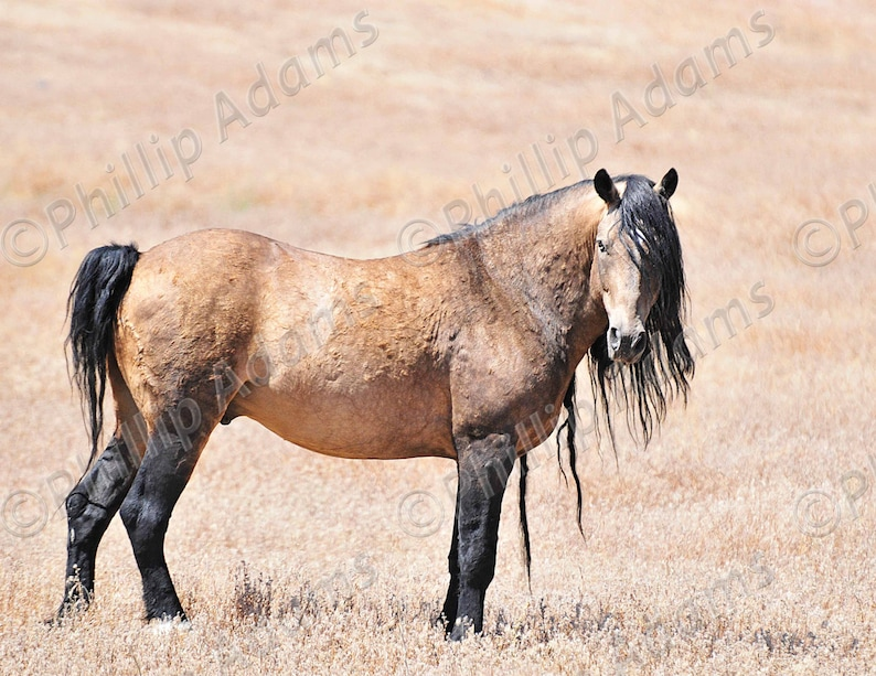 Mustang Stallion 8.5 x 11 Meste\u00f1o 20