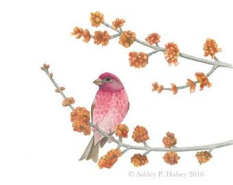 Purple Finch Watercolor Print