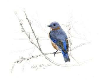 Female Eastern Bluebird print