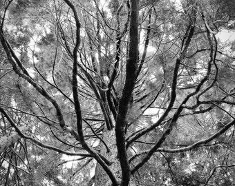 Sequoia black and white photo, sequoia print, sequoia canvas, tree art, tree canvas, black and white nature photography