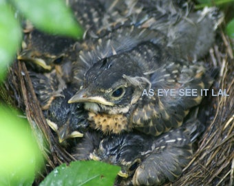 4 BABY ROBINS  In NEST 5x7 photo greeting card