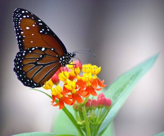 Monarch Butterfly On Flower 5x7 Photo Greeting Card Blank Etsy