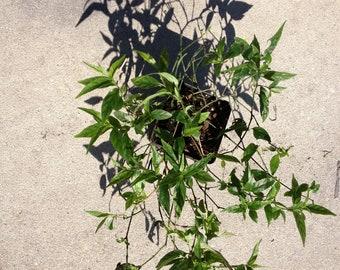Justica pectoralis live plant