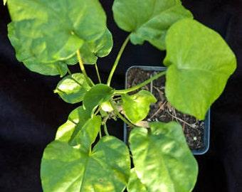Rivea corymbosa Live Plant Christmas vine