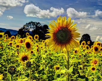 Vermont sunflowers photo print photography summer flowers Free Shipping top gift wedding yellow new england wall home decor
