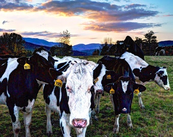 Vermont, photography, prints, dairy cows, Waitsfield Vermont photo, wall&home decor, 3 sizes, sunset,free shipping,animals