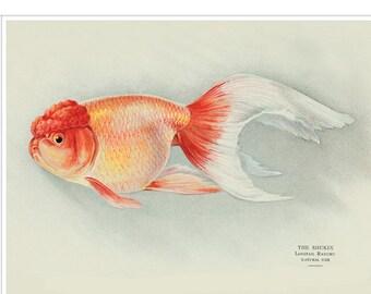 Wakin Goldfish Print  Japanese Koi Fish Print  Japanese | Etsy