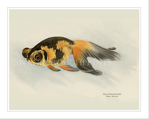 Deni Ranchu Goldfish Japanese Fish Print Japanese Goldfish Print Japanese Koi Carp Print Fish Bathroom Print Black And Gold Decor