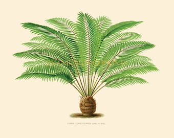 Palm Tree Art Print, Prints of Tropical Palm Trees in All Sizes. Palm Tree Natural History Palm Prints, Nature Study Print of Tropical Trees