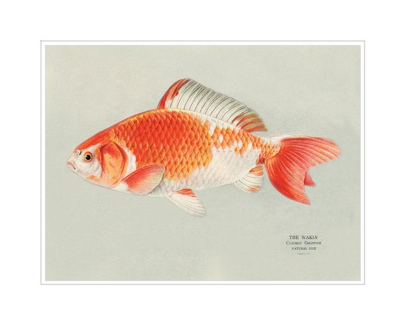 Wakin Goldfish Print  Japanese Koi Fish Print  Japanese Goldfish Wall Art  Print  Fish Bathroom Print  Orange and Cream Decor  Koi Fish Pond