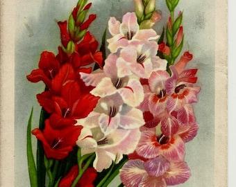Gladioluses, Flowers, Vintage Russian Postcard artist Romanov print 1962