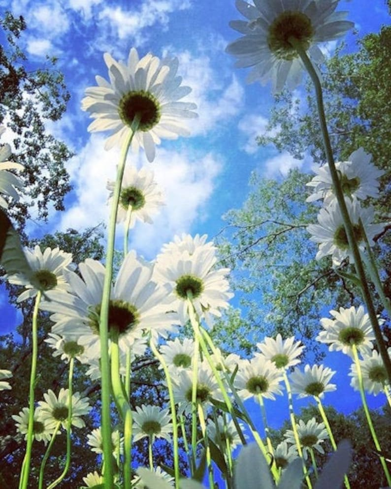 Daisies in blue image 0