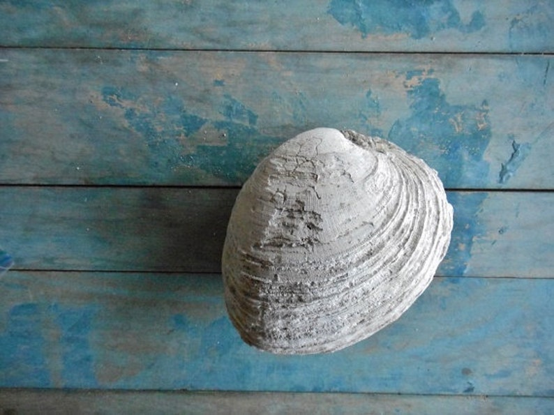 Large Clam Shell Fossilized With Sedimentary Rock Shell Embedded Terrarium  Flower Bed Rock Gardens Bookend Doorstop Geology Display Specimen